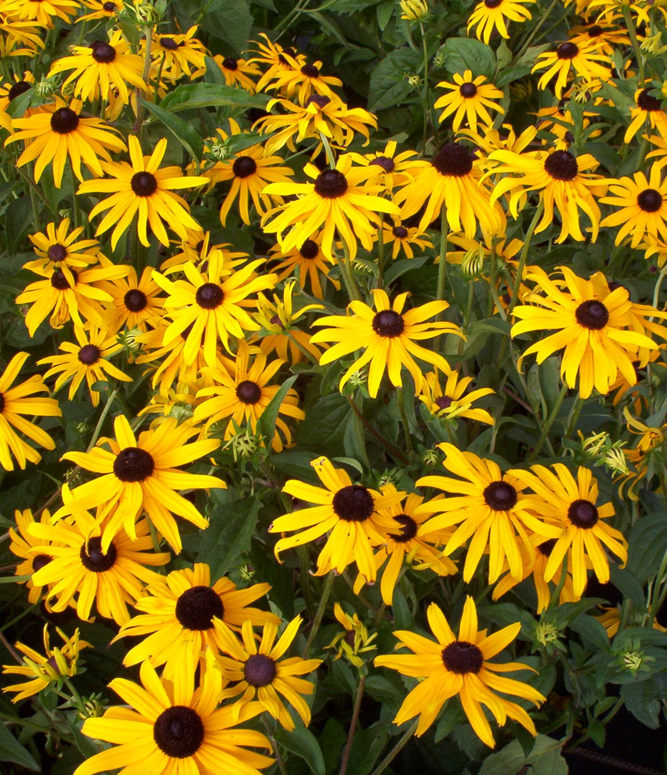 E Landscape Specialty Solutions Llc Plants We Love Rudbeckia